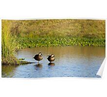 Pacific Black Ducks Poster