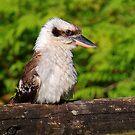 Straddie Kookaburra by Truenature