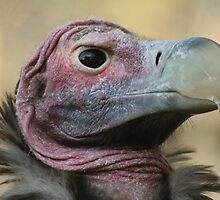 Lappet-faced Vulture by Jo  McCarthy