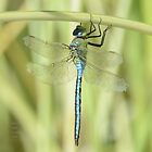 """ Emperor Dragonfly "" by Richard Couchman"