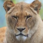 Panthera leo by Mythos57