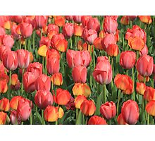 Flower-Bed Of Tulips Photographic Print