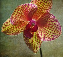 kaleidoscope orchid by GalleryThree