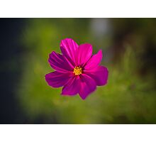 Pink Cosmos flower. Photographic Print