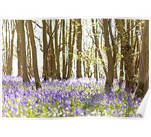 Magical light in the bluebell woods Poster