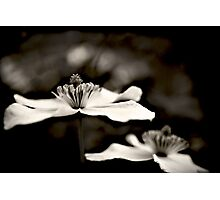 Clematis flower (in black and white) Photographic Print