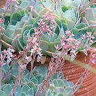 Echeverias flowering in a pot by Maree  Clarkson