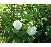White Flowers from the Pacific Northwest Photographic Print