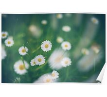 Chamomile at green grass.  Poster