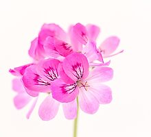 Pink geranium love by Zoe Power