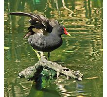 Moorhen on a branch in the river Photographic Print