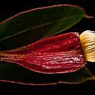 Flowering Gum by margotk