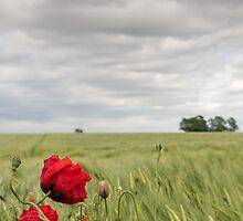 Poppies in a Norfolk field by Liz Outhwaite