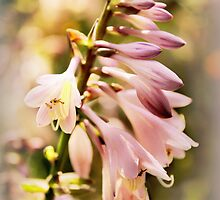 Backlit Hosta Flower by Jessica Jenney