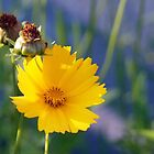 Coreopsis and Bud by Linda  Makiej