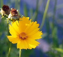 Coreopsis and Bud by Linda  Makiej Photography