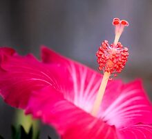 Red Hibiscus Macro Flower by Elizabeth Thomas
