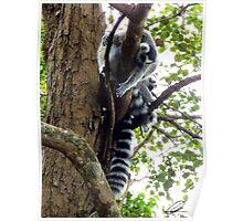 The Curious Lemur Poster