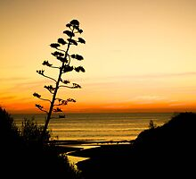 Century Plant Weed, Christies Beach by Emily Wilson