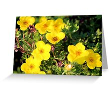 Shrubby Cinquefoil - Dasiphora fruticosa subsp. floribunda (Pursh) Kartesz Greeting Card