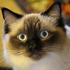 Beautiful RagDoll Cat by croper
