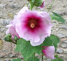 Pink roadside hollyhock in France by HolidayMurcia