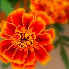 Marigold by ctheworld