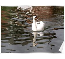 Swan Reflected Poster