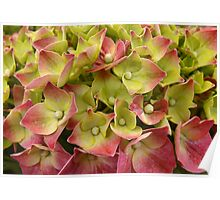 French Hydrangea Poster