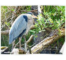 Beautiful Great Blue Heron Poster