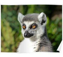 Ring-tailed Lemur Enjoying The Late Afternoon Sun Poster
