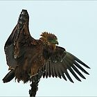BROWN SNAKE EAGLE - Circaelus cinereus – Bruin Slangarend by Magriet Meintjes