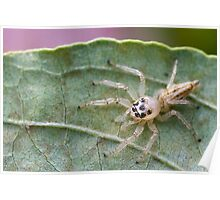 Hentz Longjawed Jumping Spider Poster