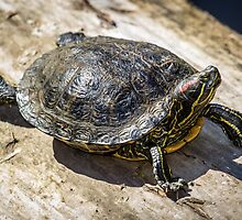 Red-eared Slider Turtle by RandyHume