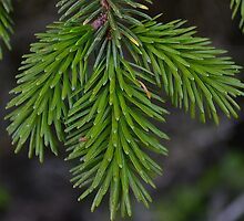 Pine Evergreen Fresh Branch  by Sutteyo