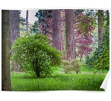 Sequoias and May Blossom Poster