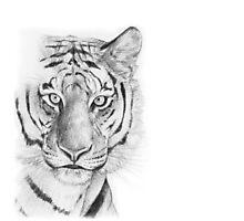Tiger Photographic Print
