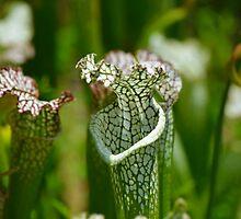 Pitcher Plant (sarracenia) by Scott Mitchell