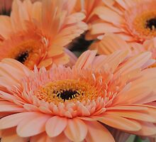 Apricot Gerberas #1 by Marilyn Harris