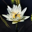 Dragon Fly on Lily by John Rivera