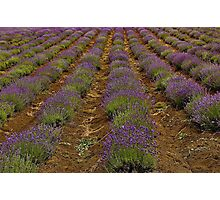Rows Of Fragrance Photographic Print