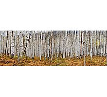 Aspen And Ferns Photographic Print