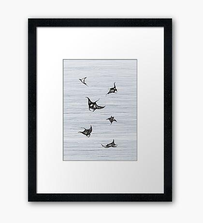 Manta rays in flight Framed Print