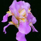 Irresistable Iris by vette