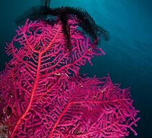 Feather star on fan coral, Wakatobi National Park, Indonesia by Erik Schlogl