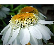 Just One Petal Out Of Place Daisy.... Photographic Print