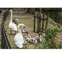 Swans and Their Swanlings Photographic Print