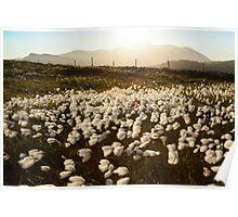 Cotton Grass Poster
