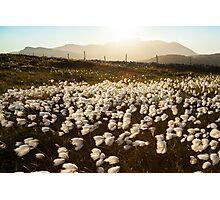 Cotton Grass Photographic Print