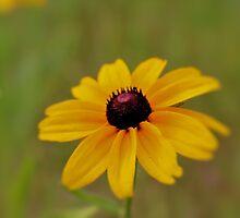 Beautiful Black-Eyed Susan by aprilann